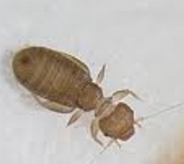 How To Know If Bed Bugs Are Starving